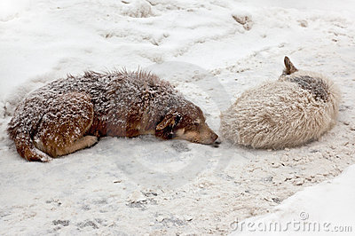 Stray dogs sleeping in the snow