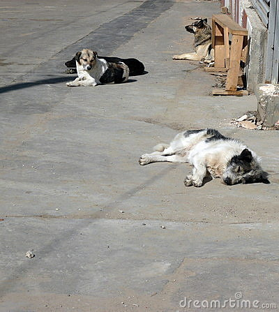 Stray dogs on street