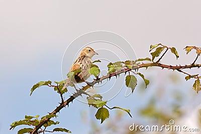 Streaked Fantail Warbler (Cisticola juncidis)