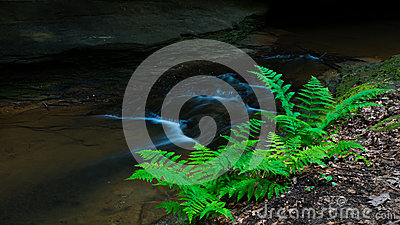 Stream side Ferns