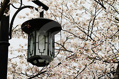 Streetlamp and cherry blossoms