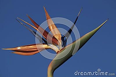 Strelitzia Bloom