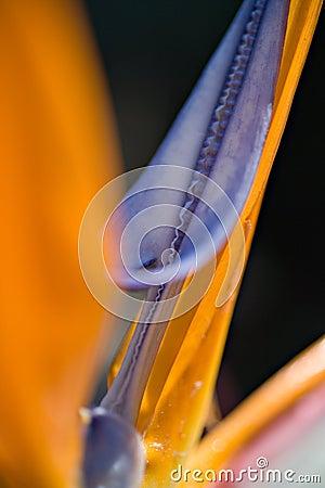 Strelitzia Detail