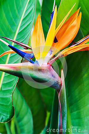 Free Strelitzia Reginae Flower Closeup Stock Photos - 68243293
