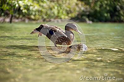 Stretching ducks
