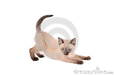 Stretching siemese kitten