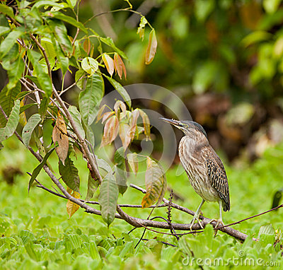 Striated Heron at the Amazon river