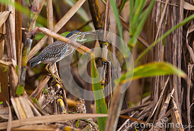 Striated Heron with fish