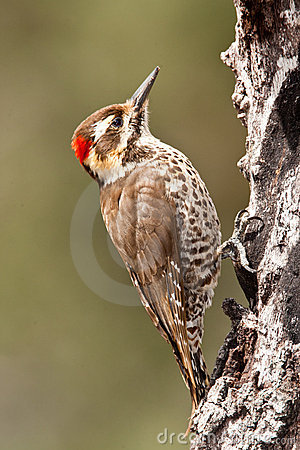 Strickland s (Arizona) Woodpecker