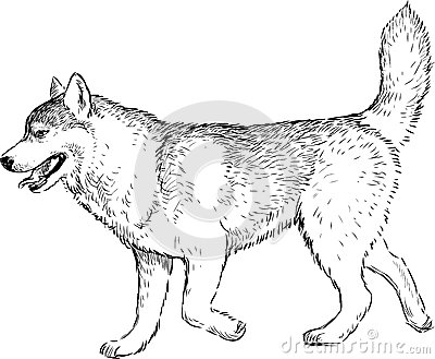 Striding husky