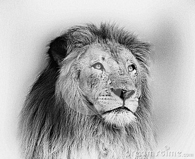Striking Black And White Lion Face Portrait Stock Photo ...