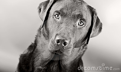 Striking Labrador