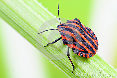 Strip bugs (Graphosoma lineatum)