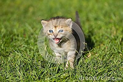 Striped baby kitten