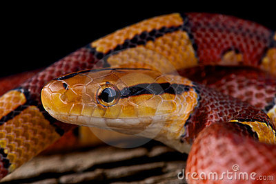 Striped bamboo rat snake