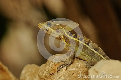 Striped Basilisk (Basiliscus Vittatus)