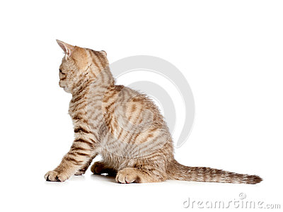 Striped british kitten rear or back view