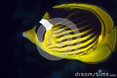 Striped butterflyfish in de Red Sea.
