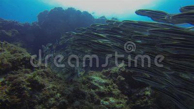 Striped Catfish School Kleurrijke olierijskist Schooling Aquatic Marine Life stock footage