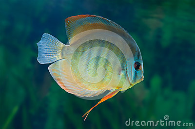 Striped Discus in aquarium