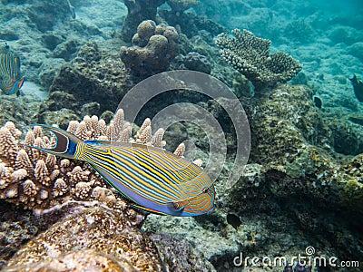 Doctorfish - photo#15