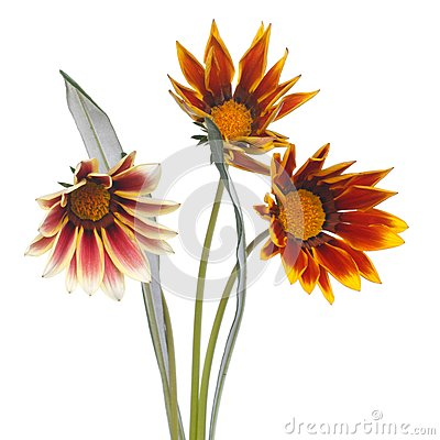 Striped Gazania flower bouquet isolated on white
