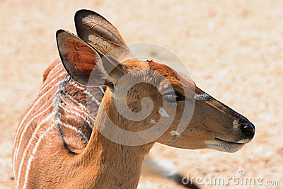 Striped Gazelle