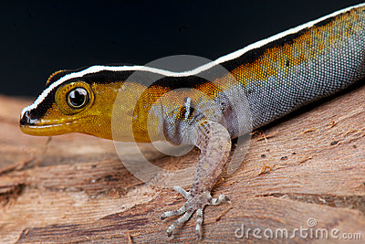 Striped gecko