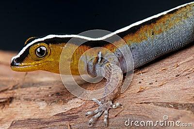 Striped gecko