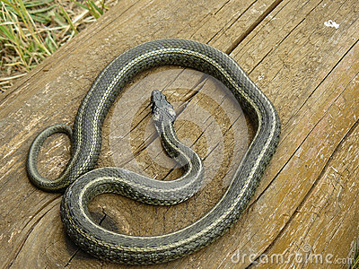 Striped Grass Snake