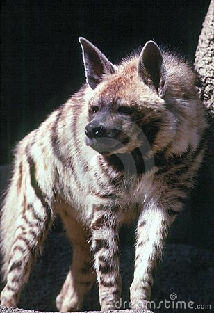 Free Striped Hyena Royalty Free Stock Photography - 915407
