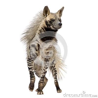Free Striped Hyena - Hyaena Hyaena Royalty Free Stock Photos - 6609078