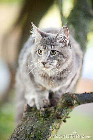 Striped maine coon cat in nature