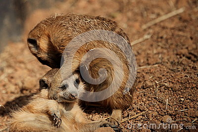 Striped meerkat