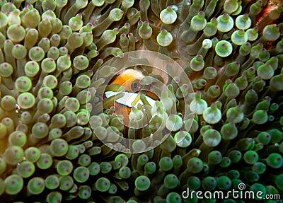 Striped orange clownfish hiding in bubble anemone
