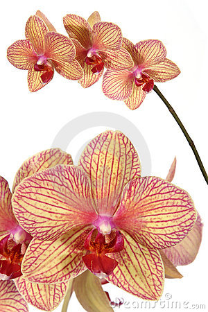 Free Striped Orchid Flower Stock Photo - 1973310