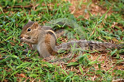Striped Palm Squirrel