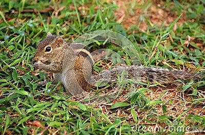 Striped Palm Squirrel