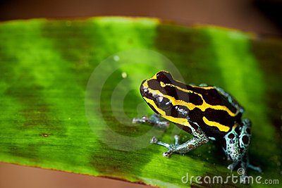 Striped poison dart frog yellow and black