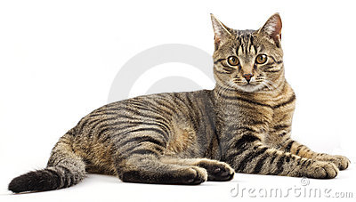 Striped purebred cat