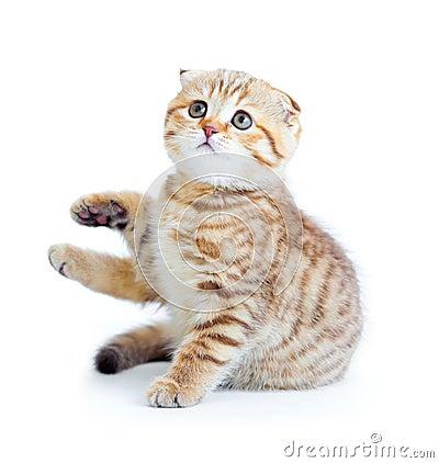 Striped Scottis kitten fold breed sitting isolated