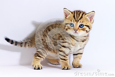 Striped scottish kitten with blue eyes