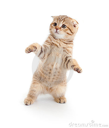 Free Striped Scottish Kitten Fold Dancing Isolated Stock Photography - 17838832