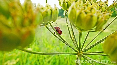 Striped shield bug on umbel of hogweed