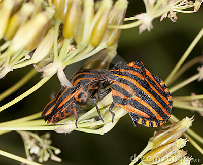 Striped shield bugs (Graphosoma lineatum)