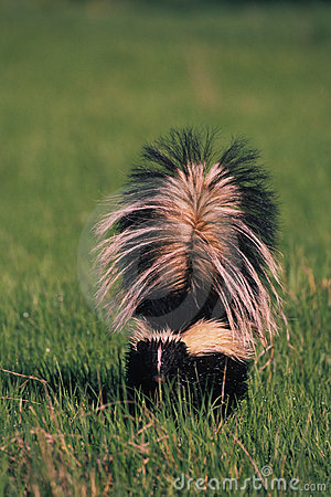 Striped Skunk in Grass