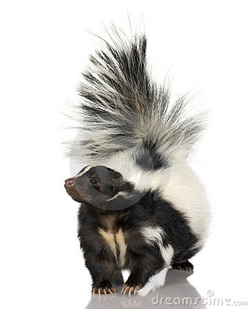 Free Striped Skunk - Mephitis Mephitis Stock Images - 3687254