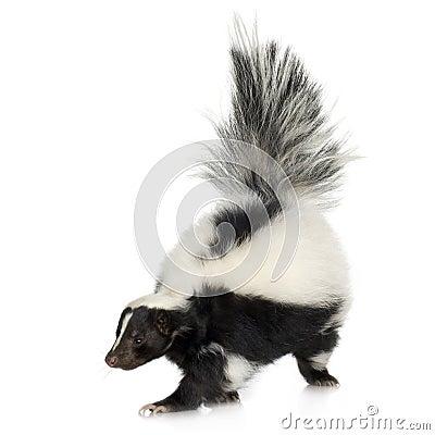 Free Striped Skunk - Mephitis Mephitis Stock Photo - 3687610