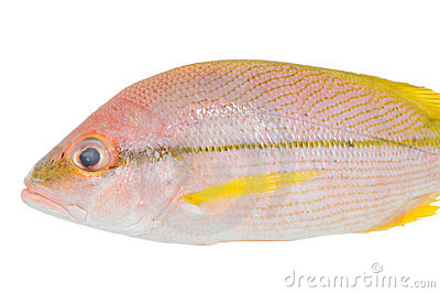 Striped Snapper Fish
