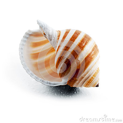 Striped spiral seashell.